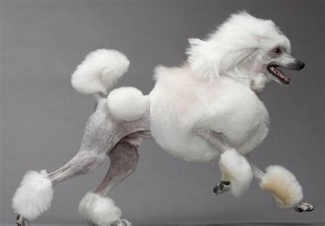 Poodle Hairstyles by 10 Haircuts For Poodles