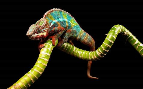 photos for wallpapers chameleon wallpapers