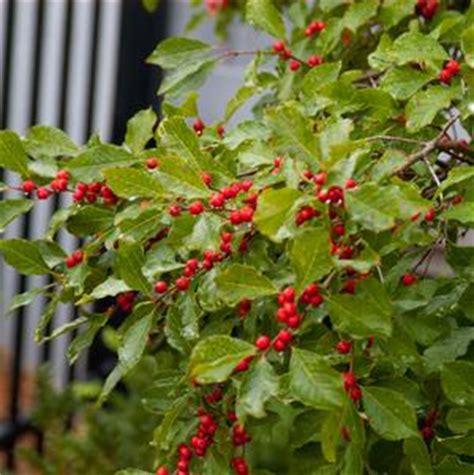Hibiscus Syriacus Ruby 2207 editions prides corner farms