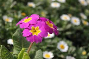 flower image primula flower picture flower pictures 5559