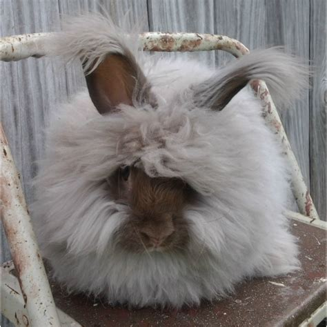 rabbit colors angora rabbit colors treen acres rabbitry