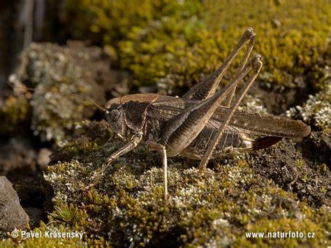 pics of gray bush grey bush cricket photos grey bush cricket images nature