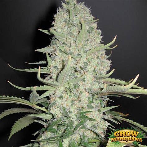 x strain seeds white berry strain seeds strain review grow marijuana