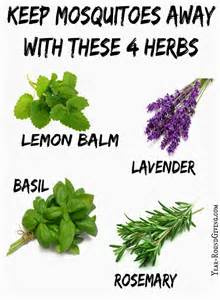 herbs that keep mosquitoes away daily appetite