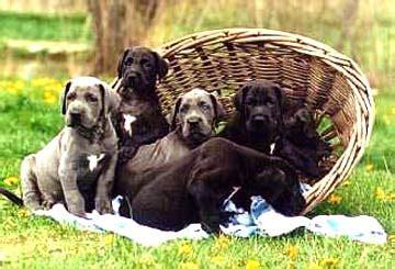 great dane puppies ta gastric torsion