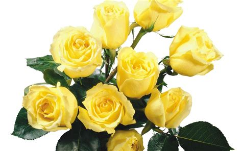 free wallpaper yellow roses yellow rose wallpapers wallpaper cave