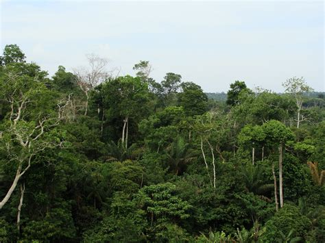 Plants In The Emergent Layer Of The Tropical Rainforest - file rainforest canopy jpg wikimedia commons