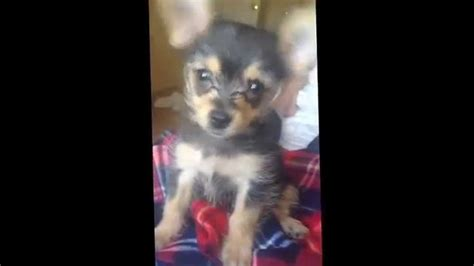 the cutest yorkie in the world the cutest chihuahua yorkie puppy in the world my baby cosmo
