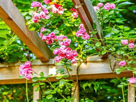 Gamis Roseflowry how to grow rambling roses saga