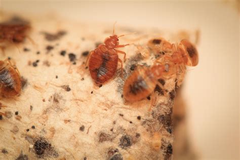 bed bugs in ohio chicago no 1 city for bedbugs 4 years in a row chicago