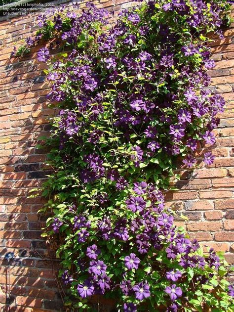 Clematis Etoile Violette 3441 by The World S Catalog Of Ideas