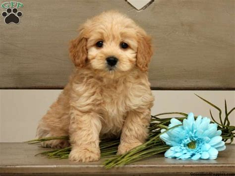 mini labradoodles for sale in pa 17 best images about loving designer puppies for sale on