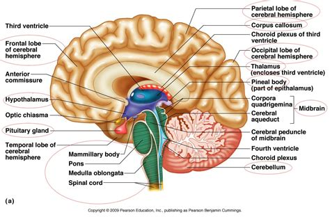 brain and its parts with diagrams human brain parts diagram anatomy list