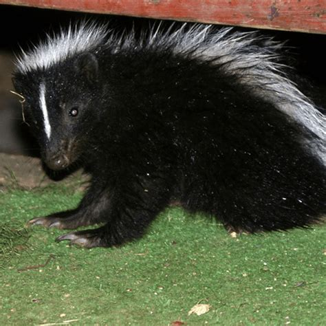 how to get rid of skunks a house how to get rid of