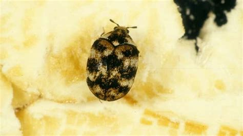 how to get rid of carpet beetles in my bedroom getting rid of carpet beetles in car carpet the honoroak