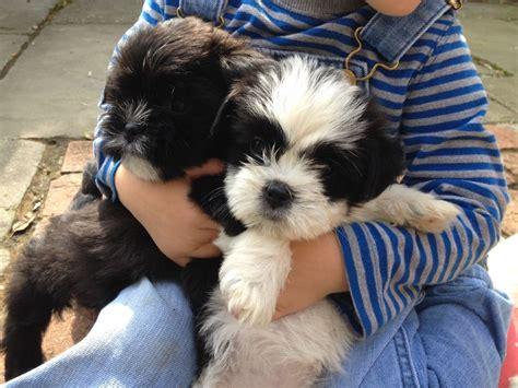 shih tzu and dachshund mix puppies for sale schweenies wirehaired dachshund x shih tzu gloucester gloucestershire