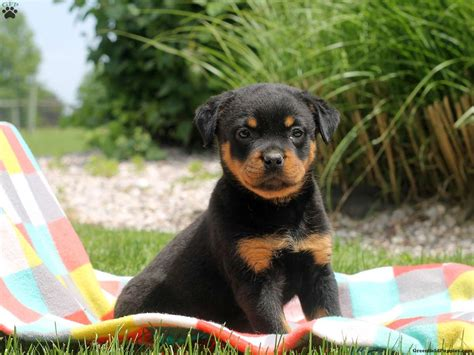cocker spaniel rottweiler mix rottweiler mix puppies for sale in de md ny nj philly dc and baltimore breeds