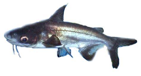 Pembesaran 6 Ikan Konsumsi Di Pekarangan Lele Belut Gurami Patin Dll budidaya ikan patin bibit ikan lele