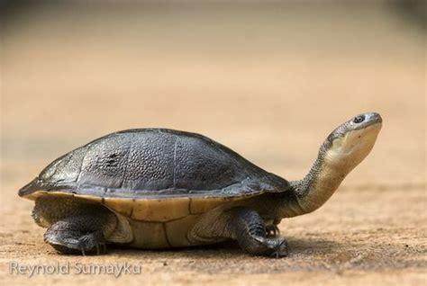 Kura Kura Batu Otak anzar harahap belajar dari kura kura