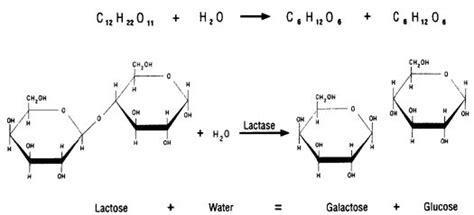 diagram of lactose and lactase reaction lactose intolerance