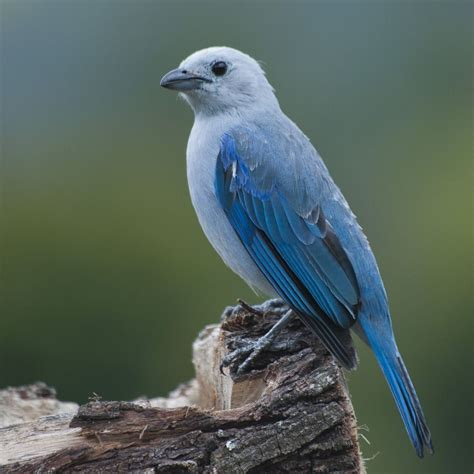 pajaro azulejo caracteristicas alimentacion habitat  mas