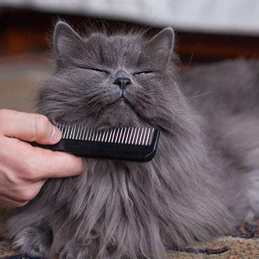 schuppen katze katze hat schuppen das kannst du dagegen tun tierisch
