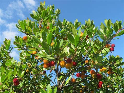 Super Piante Sempre Verdi Da Giardino #1: pianta-corbezzolo_NG2.jpg