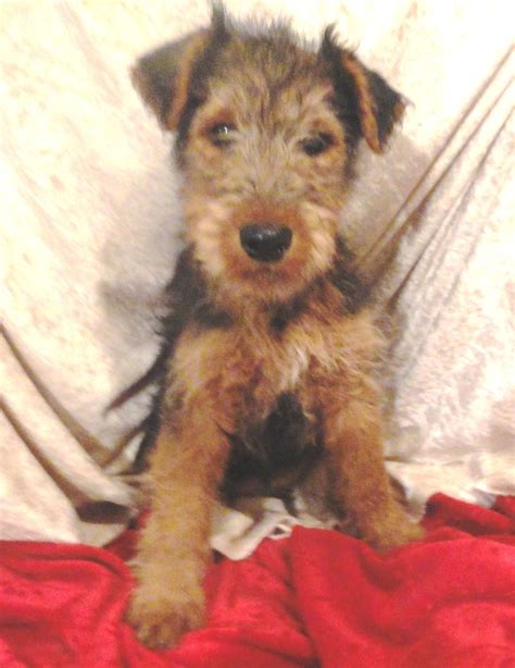 Terrier Shed by Non Shedding Terrier Puppies Friendly Loving