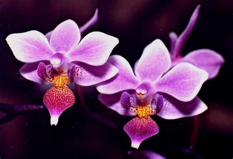 imagenes de rosas orquideas im 225 genes de flores y plantas orqu 237 dea
