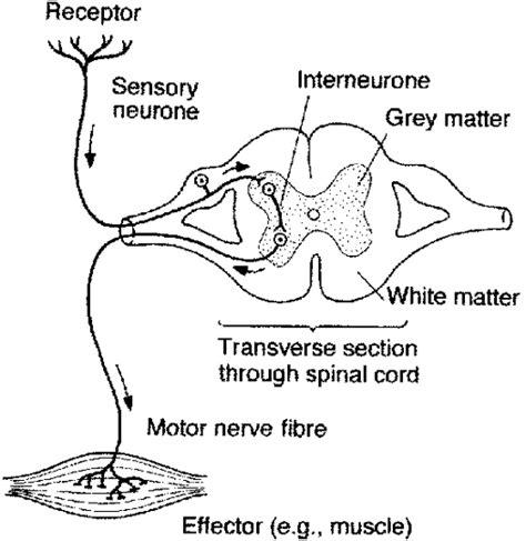 diagram of the reflex arc daniel s biology 2 85 reflex arc