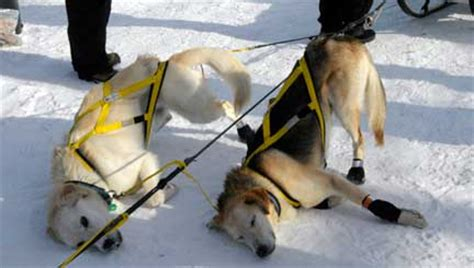 how do mushers their dogs for the iditarod collars for leash walking jeff stallings cpdt ka