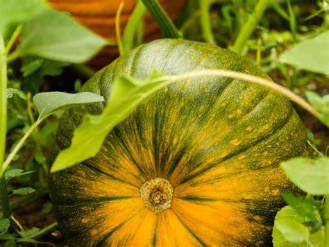 fiori di zucca coltivazione coltivazione zucca coltivazione ortaggi come coltivare