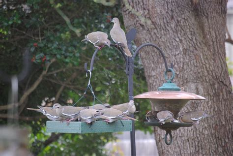 backyard birds a convention of white winged doves