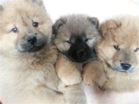 chow puppy hair chow chow puppies for sale wolverhton west midlands pets4homes