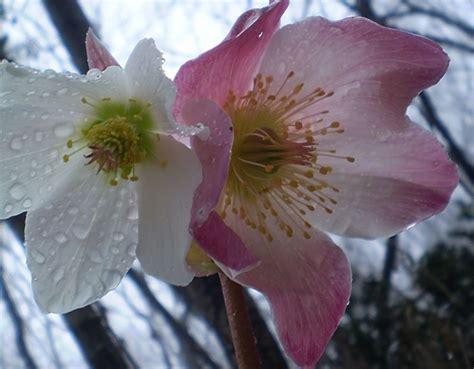 rosa di natale in vaso di natale perenni coltivare rosa di natale