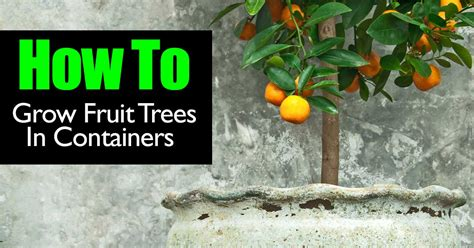 how to grow a fruit tree can you grow fruit trees in containers