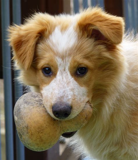 border collie mix puppies my collie mix puppy is a ham see collie mix puppy photos collie mix dogs just how