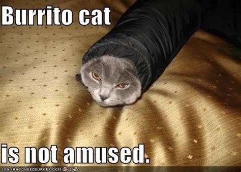 Burrito Meme - community post 9 cats wrapped like burritos the