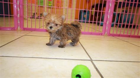 teacup yorkie for sale atlanta ga designer teacup yorkie poo for sale in breeds picture