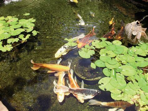 OC Pond Fountain Service Gallery of Koi Ponds, Garden