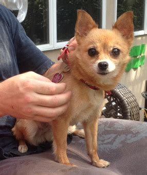 chihuahua pomeranian mix temperament haired chihuahua pom mix breeds picture