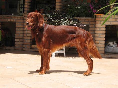 irish setter dog wiki file irish setter jpg wikimedia commons