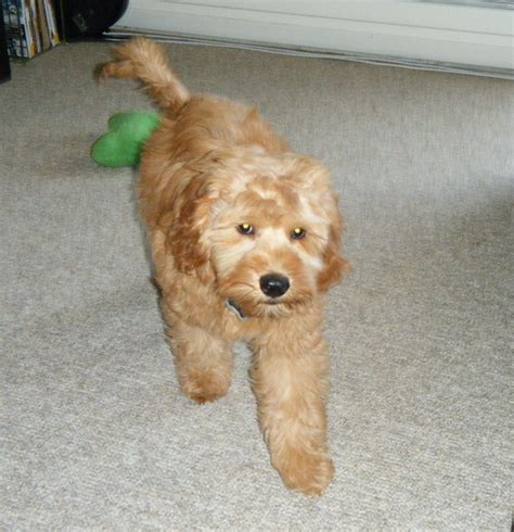 mini doodle ontario labradoodle puppies for sale in ontario dogs for sale