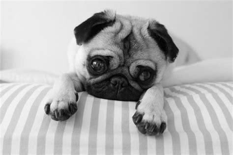 pug photography photography black and white b w pug pet sydneyyytaylor