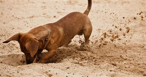 how to stop my from digging how can i get my dogs to stop digging cesar s way