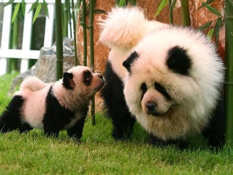 chow chow puppy panda chow pandas canis lupus hominis