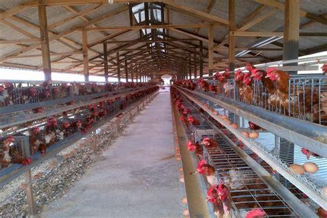 1 Ekor Bibit Ayam Petelur bisnis peternakan ayam paling menggiurkan tahun ini agribisnis co id