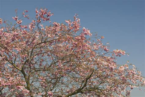 japanese blossom tree cherry tree blossom creative commons stock image