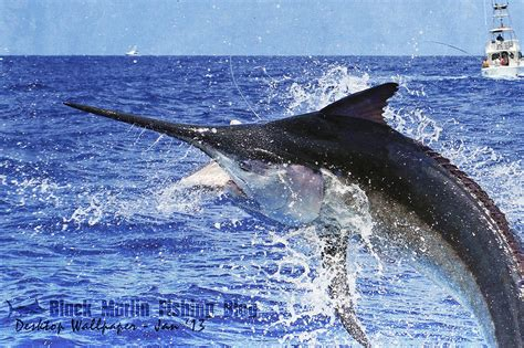 wallpaper blue marlin photo collection blue marlin hd wallpapers