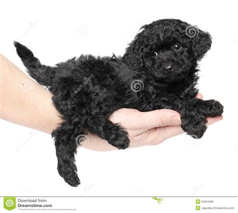 black poodle puppy poodle clipart clipart suggest